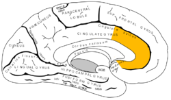 the Anterior Cingulate Cortex