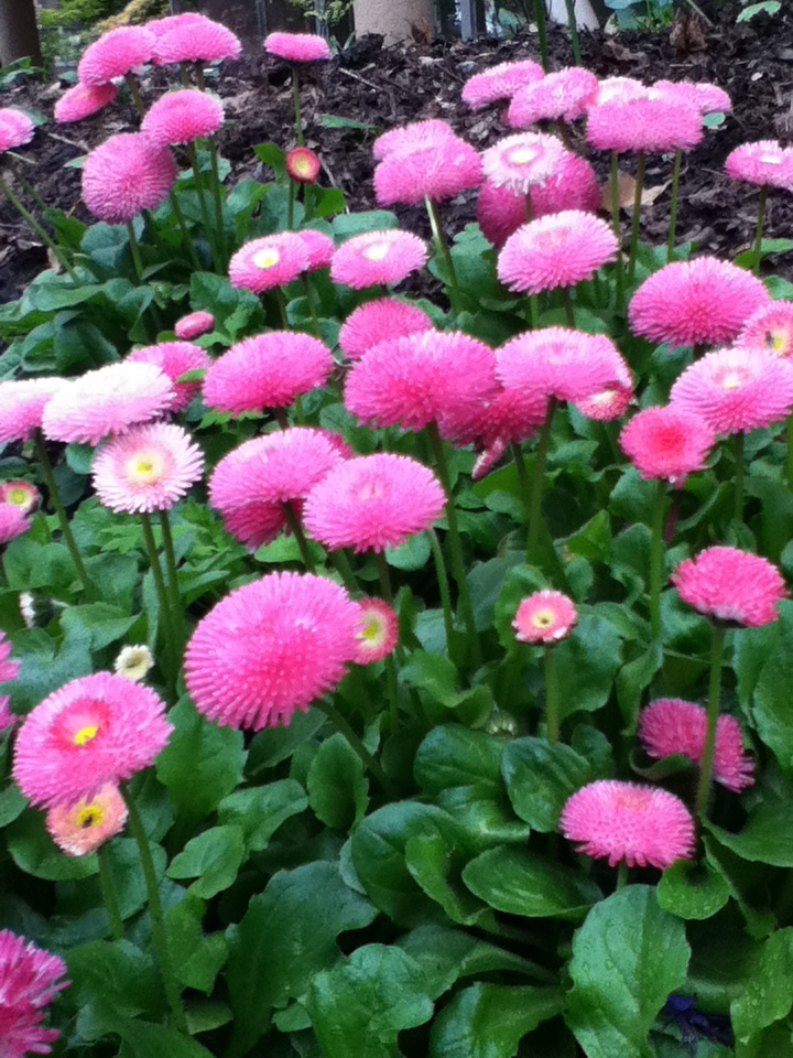 pink flowers with round fuzzy heads