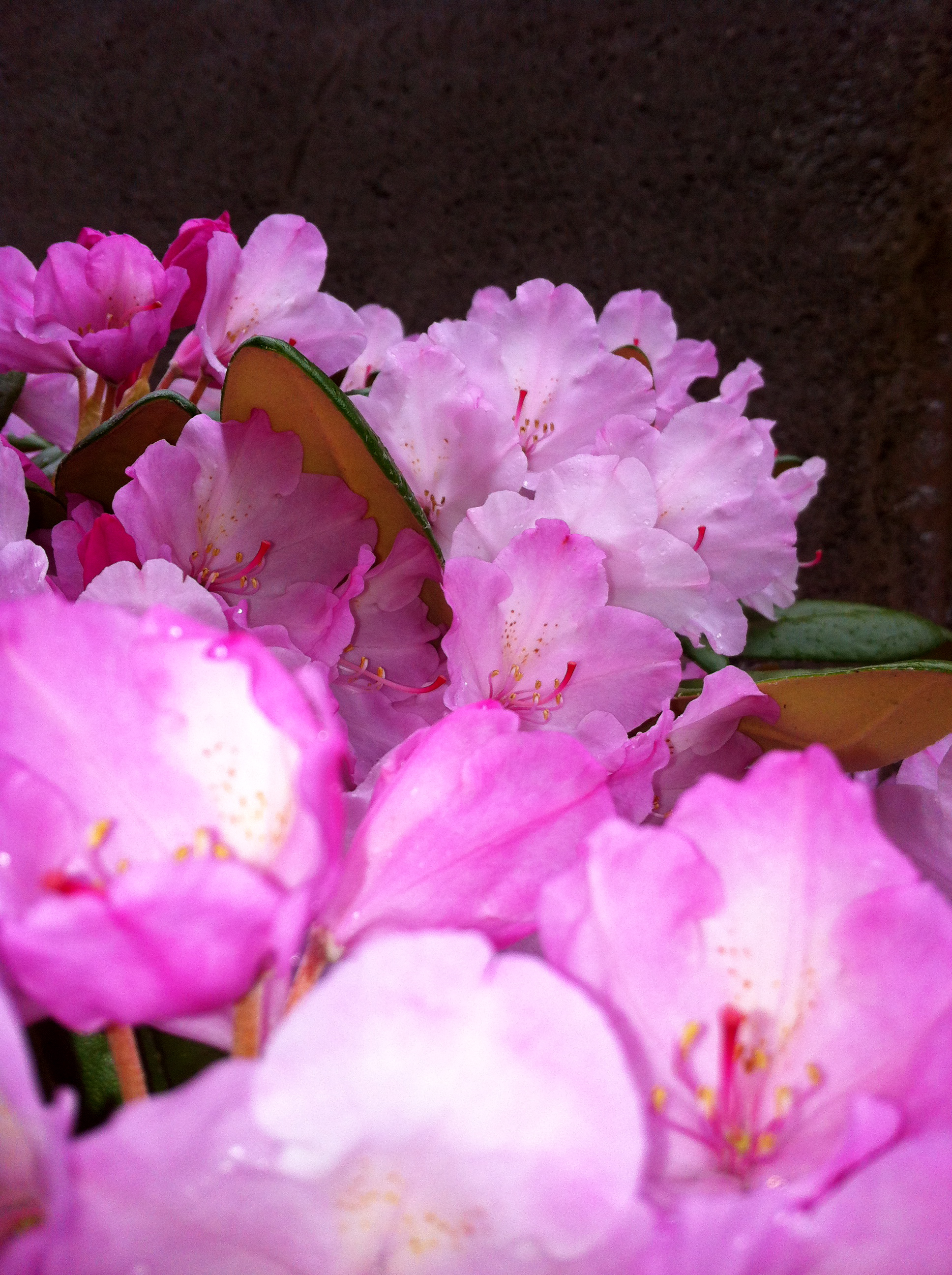 pink rhodo flowers, extremely close up