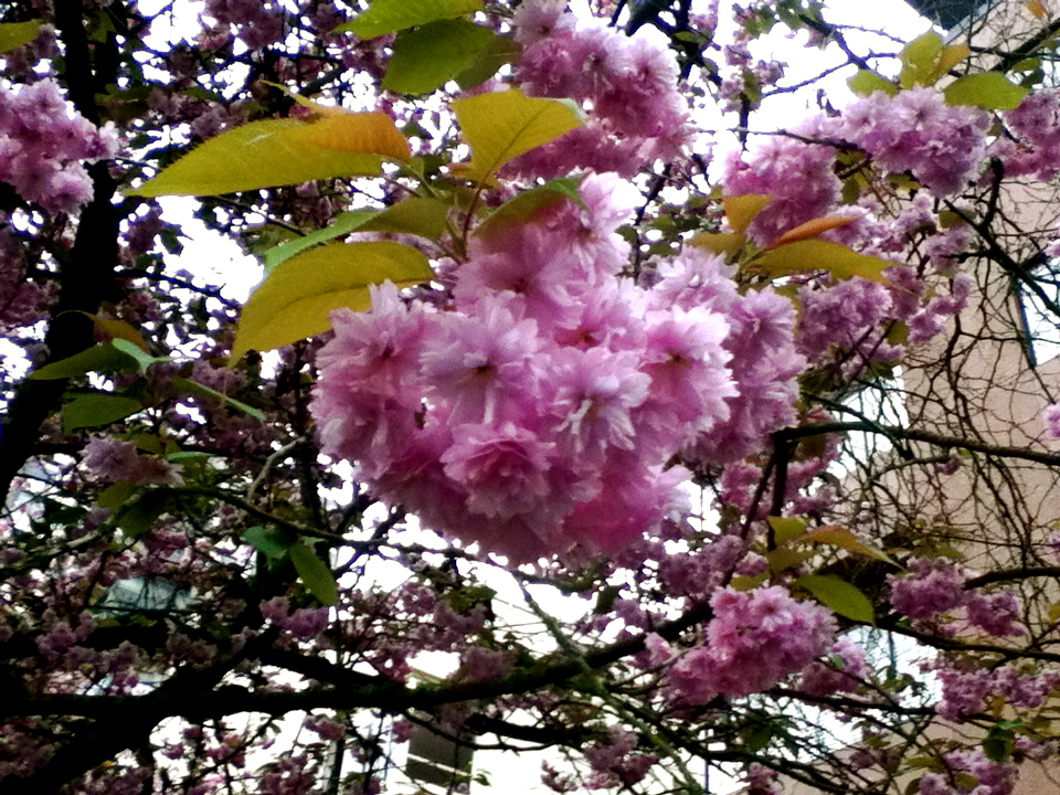 cherry blossom, close up